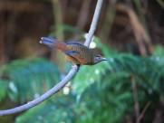 身带鳞状斑之蓝翅噪鹛图片(15张)