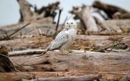 美丽的雪鸮图片(20张)