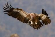 兀鹫图片(17张)
