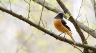 北红尾鸲雄鸟图片(10张)