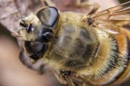 蜜蜂图片(5张)