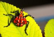 斑衣蜡蝉图片/昆虫花姑娘图片(13张)
