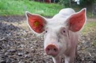 憨厚的家猪图片(15张)