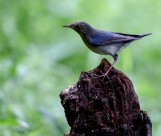 蓝歌鸲鸟类图片(5张)