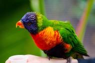 羽毛艳丽的鹦鹉图片(13张)