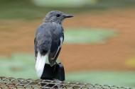 塞舌尔鹊鸲图片(9张)