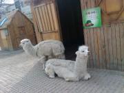 动物园里的羊驼图片(10张)