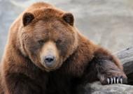 棕熊图片(13张)