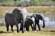 成群结队的大象图片(13张)