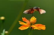 采花蜜的蜂鸟鹰蛾图片(5张)