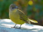 黄腹绿鸫鹎鸟类图片(7张)
