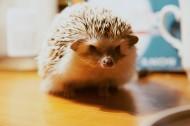可爱娇小的刺猬图片(11张)