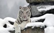 威猛的白虎图片(9张)