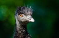 鸵鸟头部图片(12张)