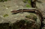 蜥蜴图片(7张)