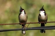 红耳鹎鸟类图片(7张)
