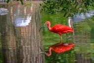 火红的赤鹮图片(6张)