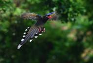 飞翔的红嘴蓝鹊图片(7张)