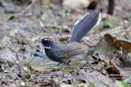 白眉姬鹟鸟类图片(8张)