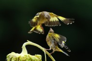 嬉戏的金翅雀图片(21张)