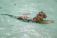 凶猛的野生老虎图片(12张)