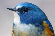红胁蓝尾鸲鸟类图片(10张)