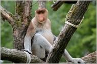 长鼻猴图片(7张)
