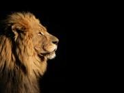 威严的狮子图片(6张)