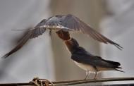 燕子图片(11张)