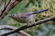蓝翅希鹛图片(5张)