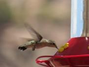 身体娇小的蜂鸟图片(13张)