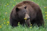 体型庞大的野生棕熊图片(10张)
