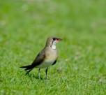 燕鸻鸟类图片(5张)