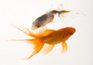 金鱼图片(30张)