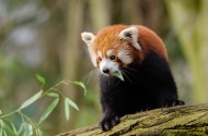 野生的小熊猫图片(13张)