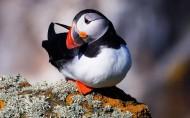善知鸟海鹦图片(9张)