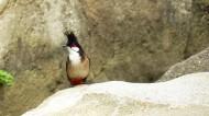 红耳鹎图片(10张)