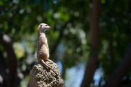 可爱的猫鼬图片(12张)