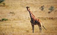 卖萌的长颈鹿图片(26张)