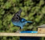中型鸟类——松鸦图片(16张)