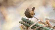 鹪鹩鸟类图片(11张)