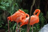 火烈鸟图片(13张)