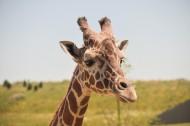 长颈鹿头部图片(12张)