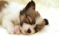 可爱的睡梦中的狗狗图片(32张)