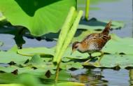 黄苇鳽图片(8张)