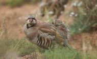 石鸡鸟类图片(9张)