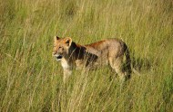 凶猛的野生母狮子图片(12张)