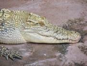 鳄鱼的头部图片(12张)