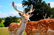可爱的梅花鹿图片(10张)