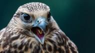 犀利老鹰图片(6张)
